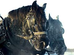 Sleigh Ride (victoria.anne) Tags: winter horse snow december manitoba pony frist hayride neh birdshillpark wheniwasalittlegirlmyparentsrentedacoupleoftheseforallourfriendsandfamily irememberthepicturesverywell