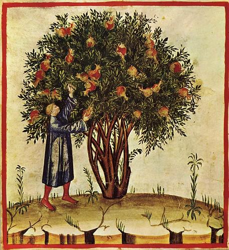 001-Recoleccion de fruta-TACUINUM SANITATIS- Biblioteca Casanetense Ms. 4182
