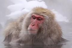 JAN2009-Jigokudani (214) (escalepade) Tags: winter art japan canon photography eos monkey spring eau photos hiver singer monkeys nagano japon source singe bains jigokudani macaque singes macaques onsens macaca 18200mm chaude 50d macacafuscata kambayashi macacas eos50d