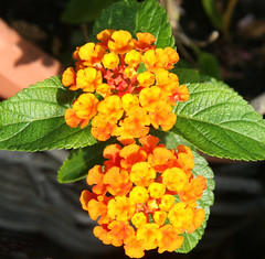 lantana1 (margaretpagewhite) Tags: flowers lexingtonky daddyshouse