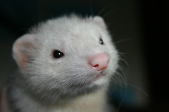 Fin (.Carter.) Tags: ferret mywinners abigfave babyferret platinumphoto citrit theunforgettablepictures goldstaraward