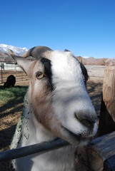 You want me to smile? (Thank You 7.5 Million Visitors!) Tags: goats lonepine 395