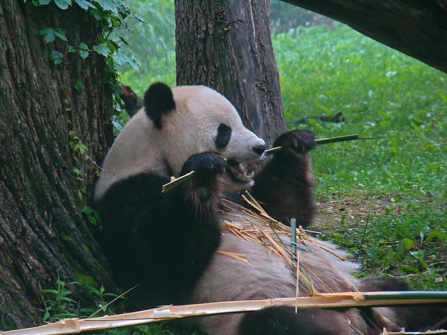 panda floss