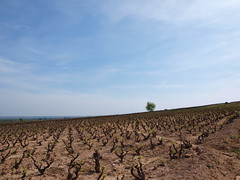 Arbolito (hijadellechero) Tags: france wine vin vitaceae vignes vino chânes