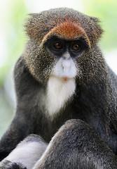 De Brazzas Monkey 2/3