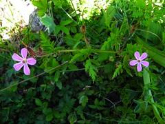 Géranium herbe à Robert=Geranium robertianum 022
