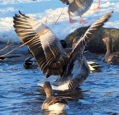 showing off (Ingibjrg H) Tags: bird nature water photographer outdoor goose excellent awards soe cubism gold