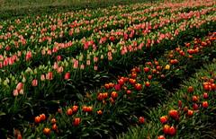 tulipfarmvisit3