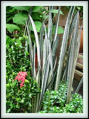 Sansevieria trifasciata 'Bantel's Sensation' with other ground cover in our garden