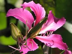 orchid tree (✿ Graça Vargas ✿) Tags: pink flower bud orchidtree patadevaca graçavargas bauhiniavariegata ©2008graçavargasallrightsreserved 11110050309