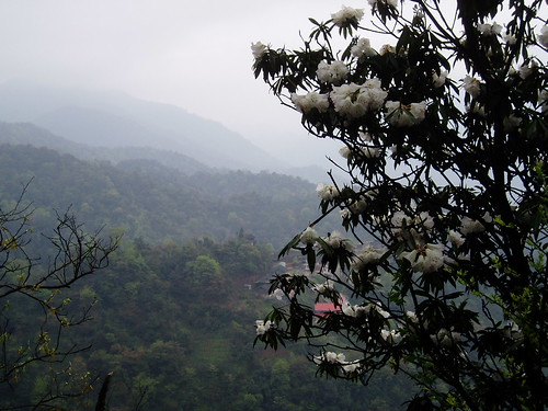 Rhododendrons in Mountains