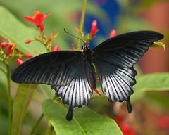 Black Beauty (Gaby Swanson, Photographer) Tags: nature animal animals butterfly wildlife butterflies naturesfinest physis mywinners gabrieleswansonphotography vosplusbellesphotos macroisnice
