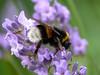 Delicious! (dolorix) Tags: nature natur lavender bumblebee delicious soe hummel lavendel anawesomeshot naturewatcher macromarvels goldstaraward