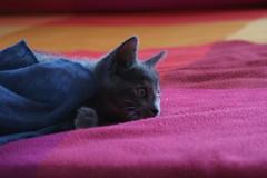 Briscola #1 (luceinversa) Tags: cat colore gatto silvermedal diamondclassphotographer flickrdiamond