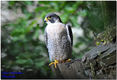 ADULT MALE PEREGRINE FALCON (1000 MM LENS HAND HELD) (spw6156) Tags: copyright male lens woods hand adult steve falcon mm held nationaltrust 1000 falcons raptors waterhouse peregrine plymbridge cannquarry spw6156 stevewaterhouse plymperegrineproject plymbridgeperegrinefalcons copyrightstevewaterhouse
