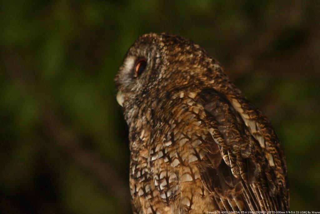 Tawny Wood Owl 灰林鴞 - IMG_8858