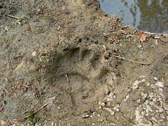 recent black bear track by falls