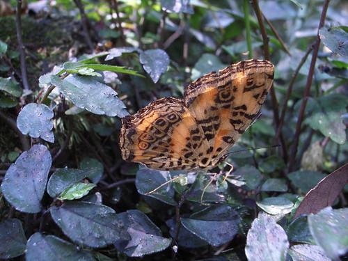 蝴蝶:姬黃三線