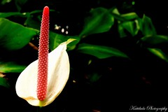(:.The One .:) (Raksh1tha) Tags: flower singapore first anthurium sentosa theone blackandgreen oneflower kuttibaluphotography