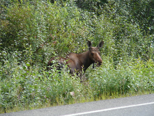 Moose  un Alce en el camino !! Dalton Highway Alaska