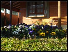 Jardim de Amores Perfeito (Martha MGR) Tags: flores nature natureza mmgr auniverseofflowers marthamgr marthamariagrabnerraymundo marthamgraymundo