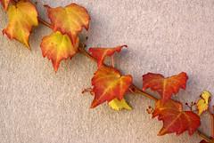 Klingon (The Green Album) Tags: orange nature leaves yellow wall catchycolors leaf rust ivy diagonal klingon oblique autumnal cling mywinners aplusphoto damniwishidtakenthat