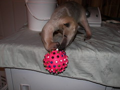 Pua plays with a ball