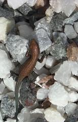 Baby Viviparous Lizard (Elsa Kurppa) Tags: suomi finland lizard 2008 ödla lisko viviparouslizard commonlizard sisilisko ящерица финляндия zootocavivipara skogsödla elsakurppa