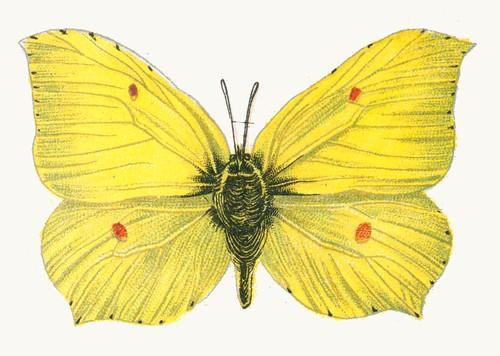 Gonepteryx rhamni male par Nemos