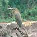 Bare-throated Tiger-Heron, Sonora