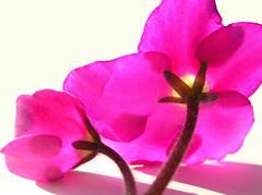 Violets (✿ Graça Vargas ✿) Tags: pink flower macro gallery violet explore bud whiteground saintpauliaionantha interestingness402 i500 graçavargas violetaafricana ©2008graçavargasallrightsreserved 58820260711