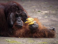 Kusasi (b52starr) Tags: orangutan campleakey tanjungputingnationalpark kusasi naturethroughthelens