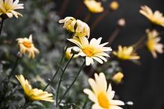 Utolsó napjaik (Balázs B.) Tags: flowers flower macro green nature yellow makro virág canonef24105mmf4lisusm 40d
