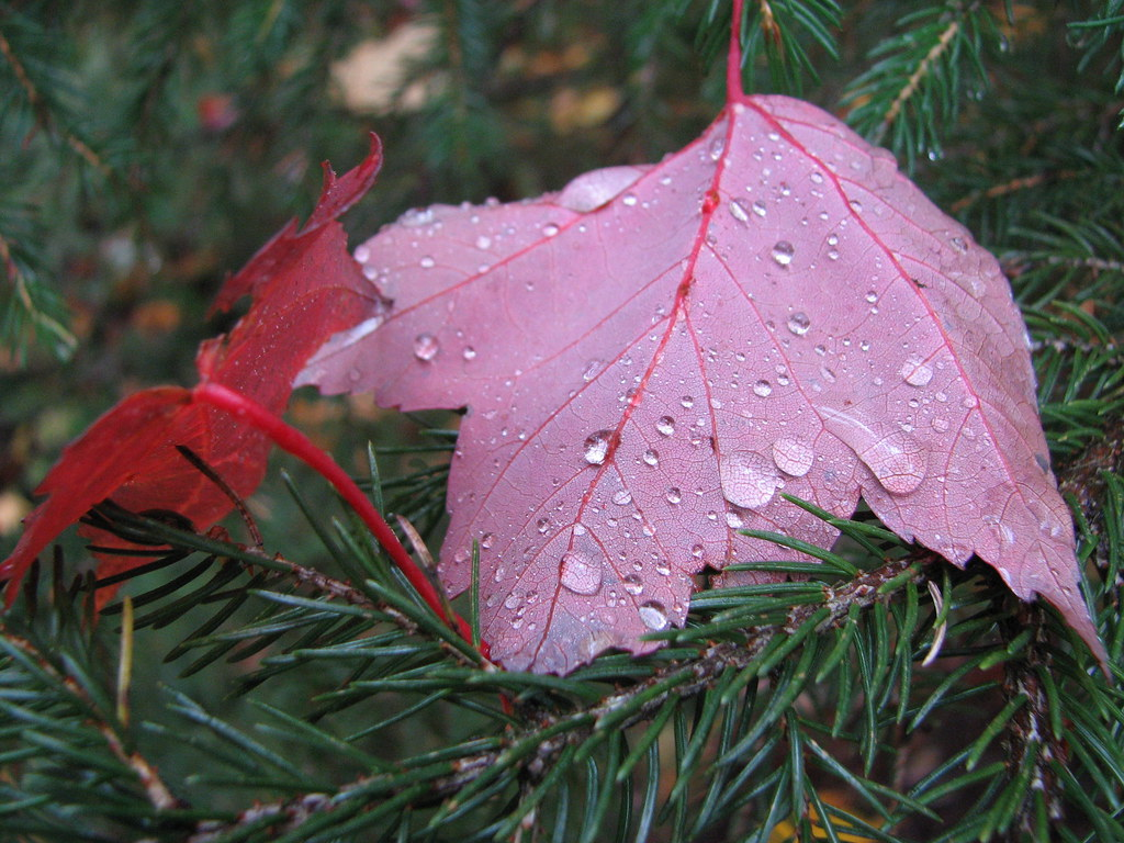 Dew drops on a red leaf
