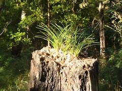 New life out of old (flashmick) Tags: bush flora border queensland plantlife seq stateborder bushwalks mtclunie