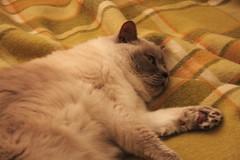 IMG_5420 (xenpix) Tags: cat shorthair british purdy