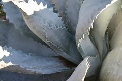 phoenix botanical gardens agave 4