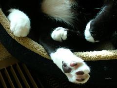 Pi  (theappraiserlady) Tags: blackandwhite socks cat paw toes nap toe sylvester kitty catnap pi tuxedo tootsie zzzzzzz joyas jias sisforsusan pcat pidey theappraiserlady