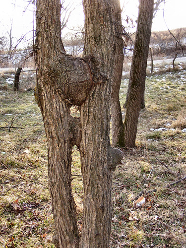 Is this what they call a Kissing Tree?