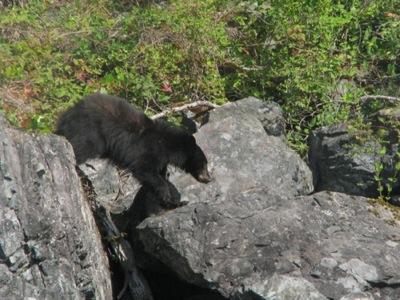 Black Bear off Quadra Island