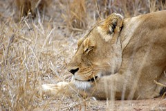 The Lioness (mitch-messina) Tags: africa moon bush leoni lion safari honey felino felini leone veld viaggio sud nozze savana predatore kapama d40 flickrbigcats