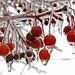 Icey Elyria berries