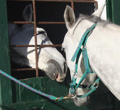Difcil beijar! (Amrico Meira) Tags: horse portugal animal caballo lisboa cavalo campogrande gua chaval challengeyouwinner