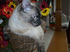 Jasmine (jumpyfrog0506) Tags: flowers cute girl female pose relax mouse pretty jasmine posing siamese string purfect
