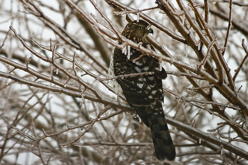 Cooper's Hawk after the ice storm