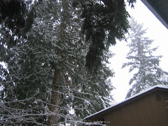 Towering trees with snow (hopeisalot) Tags: our house wintersolstice winterinwashington snowinbothell winterinthepacificnorthwest snowinthepacificnorthwest snowinwashinton