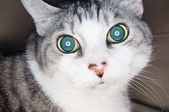 mesmerized (poopoorama) Tags: alex cat nikon sigma ringflash orbis d300 strobist 1850mmf28exmacrohsm