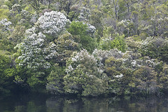 spring blooming leatherwood (AsianInsights) Tags: river rainforest australia gordon tasmania lucida leatherwood franklingordonwildriversnationalpark cunoniaceae eucryphia eucryphiaceae arfp australianrainforestplants eucryphialucida trfp arfflowers romanachapman whtitearfflowers cooltemperatearf