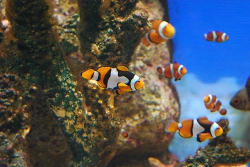 pretty clown fish