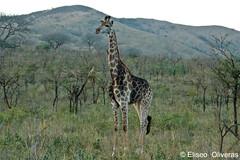 Giraffe on the alert (Eliseo Oliveras) Tags: africa natal fauna southafrica wildlife giraffe imfolozi afrique kwazulunatal surafrica jirafa hluhluwe zululand hluhluweimfolozi eliseooliveras ©eliseooliveras